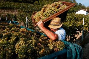 Vingård i Piemonte